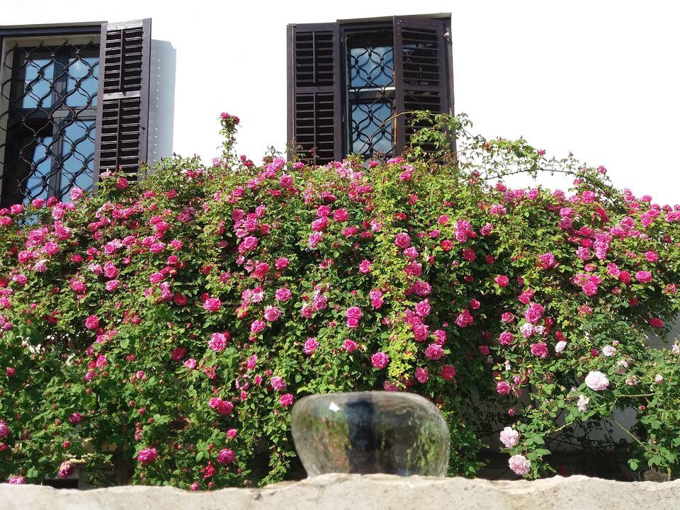 Nova gorica regina delle rose: eventi giardini incantati e menu di