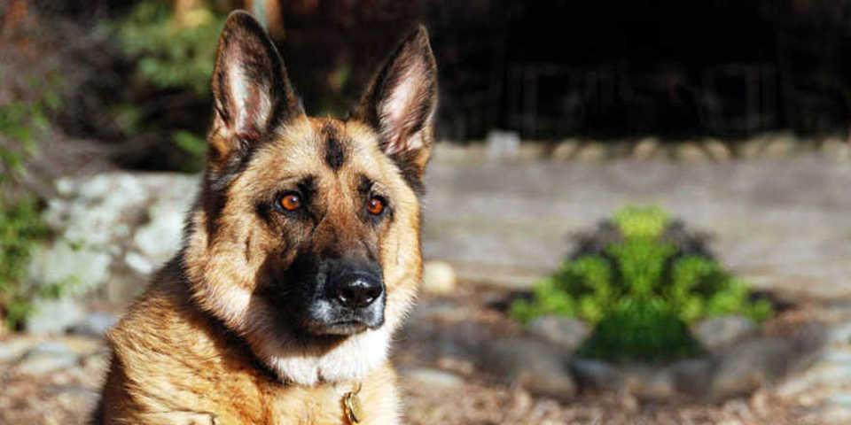 i cani possono annusare il cancro alla prostata