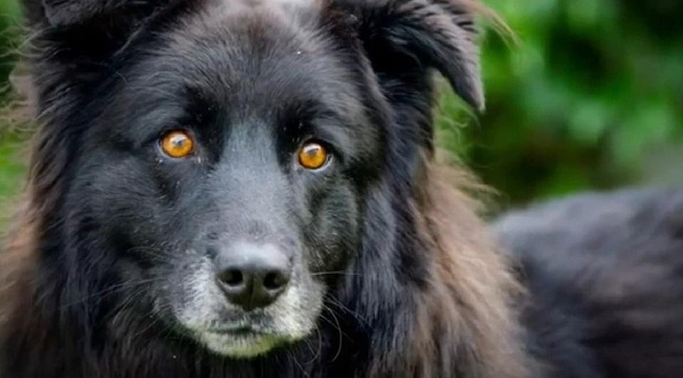 Bagheera il cane che nessuno vuole adottare ha gli occhi for Casa progetta il trotto del cane