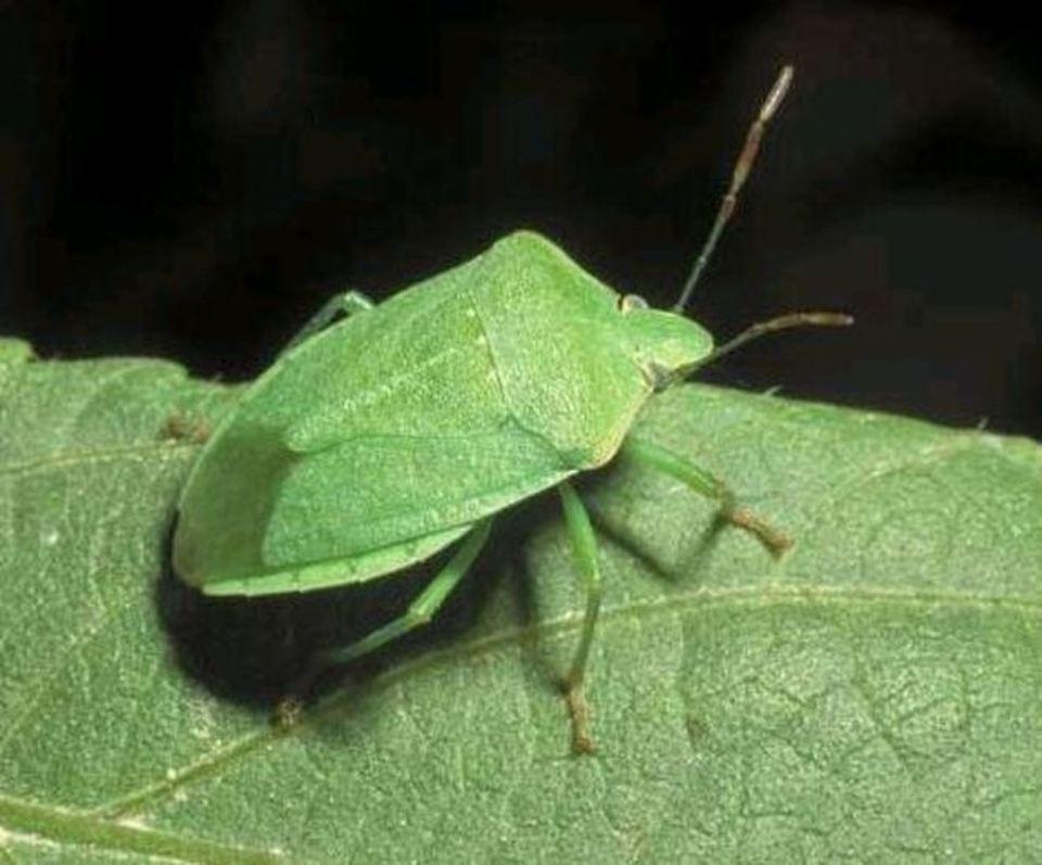 Casa invasa dalle cimici verdi ecco come liberarsene - Piccoli insetti in casa ...