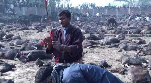 Lo sterminio 39 porta fortuna 39 in nepal 300mila animali - Foto porta fortuna ...
