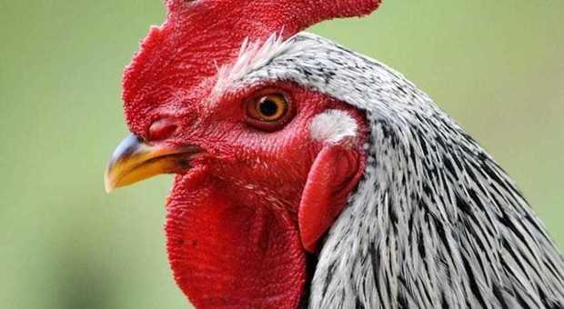 Il gallo canta troppo e viene denunciato, il tribunale lo condanna: «Obbligato a tacere»