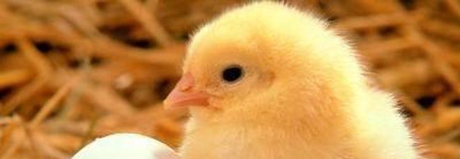 Incredibile al supermercato: ragazzino compra un uovo, lo cova e nasce un pulcino
