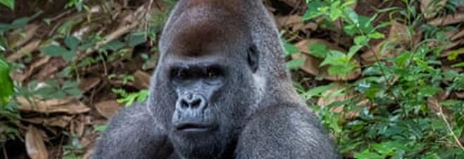 Covid, contagiati 13 gorilla dello zoo di Atlanta: grave Ozzie, un maschio di 60 anni