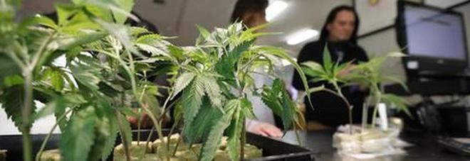 Stati Generali, cento parlamentari scrivono a Conte: «È ora di legalizzare la cannabis»