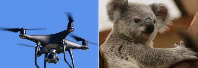Koala a rischio estinzione, in Australia arrivano droni e cani molecolari per proteggerli