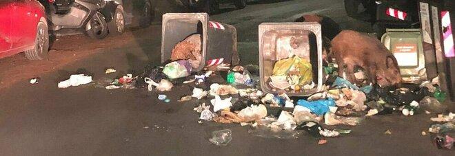 Roma, cinghiali ribaltano i cassonetti e mangiano rifiuti. La foto pubblicata da Rita Dalla Chiesa
