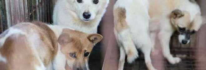 Cani cannibali, scoperto allevamento degli orrori: cento sono stati salvati