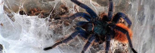 Roma, ragno tropicale girava in un supermercato: «Era nella frutta esotica». Clienti terrorizzati