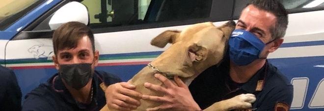 Pitbull salvato dal bastone del padrone ubriaco si getta tra le braccia dei poliziotti: la storia che commuove FOTO