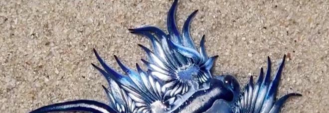 Strane creature marine sulla spiaggia: «Bellissime come draghi, ma anche pericolose»