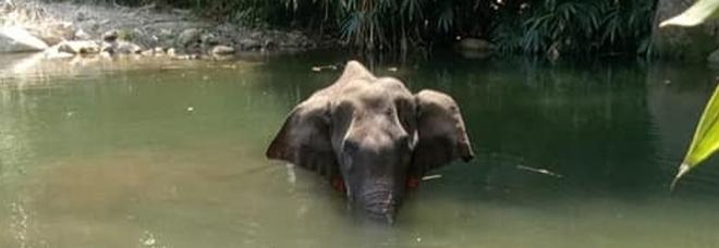 Elefantessa incinta uccisa in India, spunta la verità sulla morte: il frutto esplosivo era una trappola