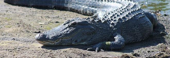 Alligatore di 5 metri passeggia per il campo da golf come se nulla fosse: il video diventa virale
