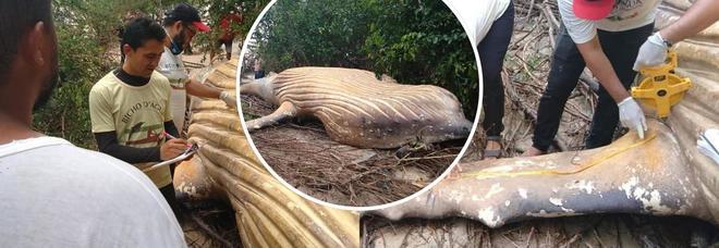 Balena di oltre dieci metri trovata nella foresta: «Come ha fatto ad arrivare fino a lì?»