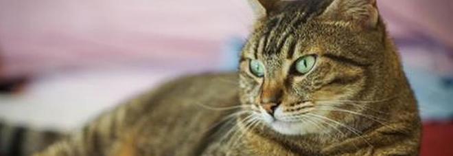 Morto un gatto contagiato da un raro virus dei pipistrelli: ha morso la padrona, ministero avvia indagini