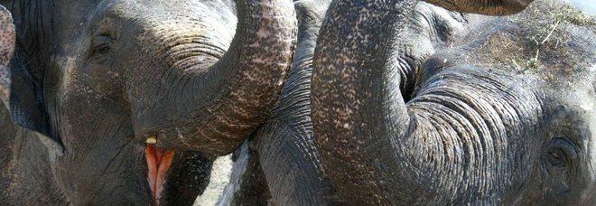 Russia, due elefanti scappano dal circo e si fermano per strada per giocare con la neve
