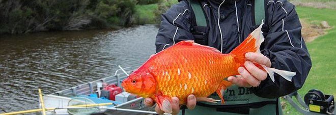 pesci rossi giganti nei fiumi non abbandonateli