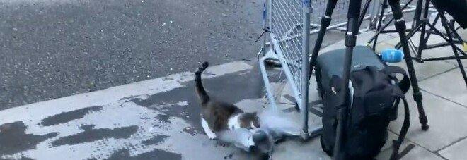 Il ritorno di Larry, il gatto di Downing Street: attacca un piccione davanti alla stampa