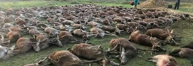 Choc a Natale: massacrati 540 cervi e cinghiali in una zona di caccia