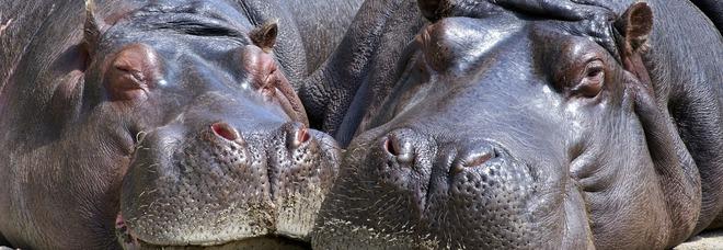 La decisione choc: saranno uccisi 2000 ippopotami africani