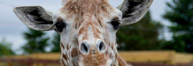 Lutto allo zoo, morta la giraffa April: «Siamo stati costretti a sopprimerla»
