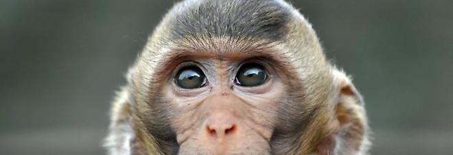 Geni umani nel cervello delle scimmie: «Animali più intelligenti». Scoppia la polemica