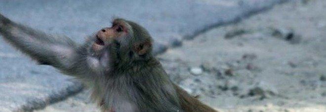 Scimmia alcolizzata uccide una donna e ferisce 250 persone