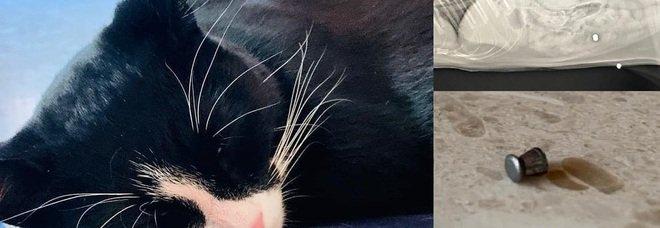 Coco colpito da una fucilata in pancia: per il gatto domestico operazione salva-vita