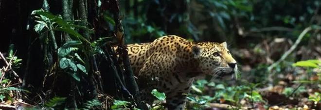 Amazzonia, foresta e giaguari a rischio fra disboscamento e incendi. Arrivano i droni controllori