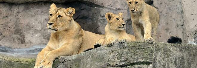 È morta la giovane leonessa Aasha al Bioparco: ecco cosa è successo