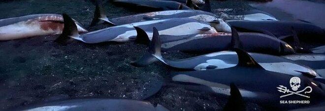 Delfini, la mattanza alle isole Faroe: branco di 1500 esemplari (cuccioli compresi) massacrati per tradizione