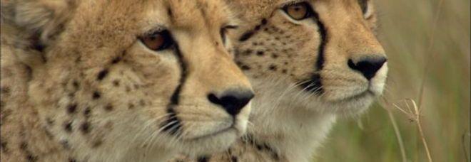 Lo sapevi? I ghepardi non sanno  ruggire: ecco qual è il loro verso