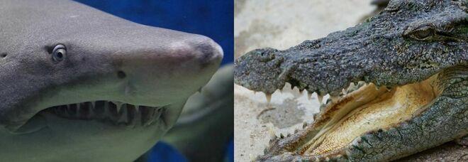 Coccodrillo VS squalo: i due bestioni si fissano, poi uno dei due scappa  IL VIDEO DELLA SFIDA
