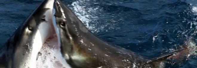 Australia scontro fra titani nell 39 oceano lo squalo for Divora larve di zanzara