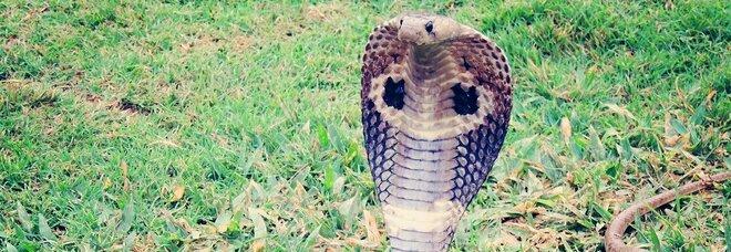 Mentre combatte il Covid viene morso da un cobra: volontario rimane paralizzato e perde la vista