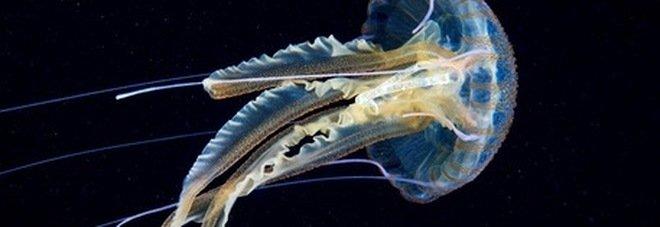 Muore a 17 anni una settimana dopo essere stato colpito da una medusa: «È l'esemplare più velenoso al mondo»