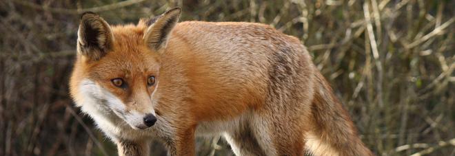 Epidemia di cimurro: malate il 46% delle volpi, pericolo per cani e uomo