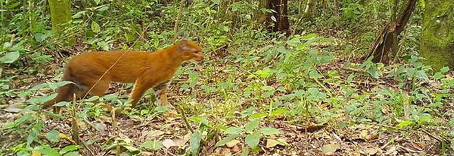 Il rarissimo gatto dorato fotografato nella foresta: pesa 14 chili