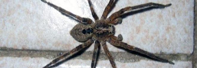 Morsa da un ragno violino: disperata corsa all'ospedale