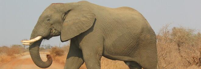 Sudafrica, bracconiere in fuga dai ranger morto schiacciato da un elefante