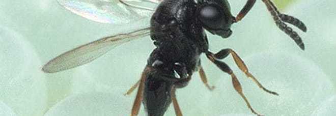 Cimice asiatica, arrivano le vespe samurai: il loro nemico numero uno. Dovranno salvare i raccolti