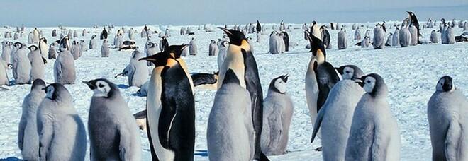 Nella colonia di pinguini c'è uno completamente giallo, la foto unica: «Come vincere alla lotteria, ecco perché»