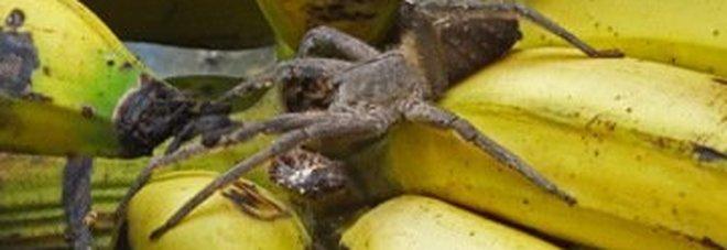 Paura al supermercato, trovato un ragno velenoso tra le banane: negozio evacuato