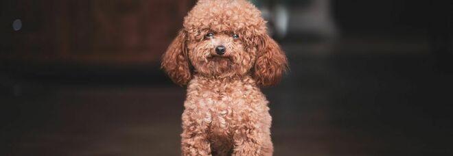 Barboncino positivo al covid nel barese, infettato dai suoi padroni: «I cani non sono in grado di diffondere il contagio»