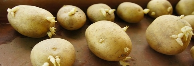 Patate germogliate e rugose gli scienziati chiariscono se for Piantare patate germogliate