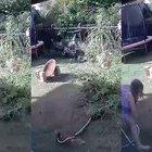 Australia, un pitone attacca un cucciolo di due mesi ma la padrona riesce a salvarlo