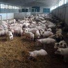 «Covid nato da una malattia mortale nei maiali»: il nuovo studio mette in discussione l'origine del virus