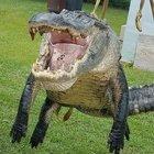 Alligatore da record catturato in Georgia: «Era grande come un mammut»