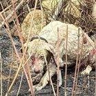 """Sardegna, cane pastore fermo davanti alle fiamme per difendere le """"sue"""" pecore: è pieno di ustioni, ma si salverà FOTO"""