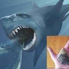 Megalodonte, scoperte le reali dimensioni del gigantesco squalo predatore. Ecco lo studio dell'Università di Bristol
